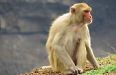 Vietnam realiza prueba de virus contra el COVID-19 en el macaco Rhesus