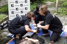 Entregan osos tibetanos a centro de rescate en Vietnam