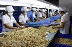 Industria de anacardo de Vietnam se esfuerza por mantener el número uno mundial