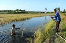 Ca Mau amplía cultivo de langostinos en arrozales
