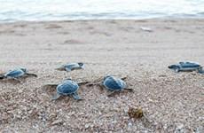 Rescatan y liberan más de 800 tortugas raras en provincia vietnamita