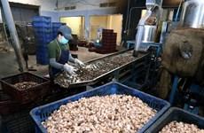 Vietnam consolida papel de principal exportador de anacardos del mundo