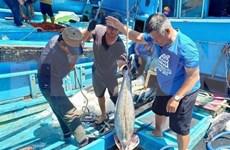Empresas vietnamitas se esfuerzan por mantener exportaciones de atún