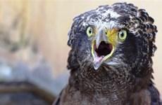 Liberarán águila entregada voluntariamente por un ciudadano vietnamita