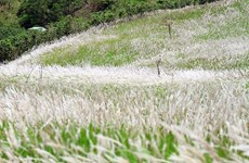 Científico vietnamita descubre potenciales de hierba invasora en cuidado de salud