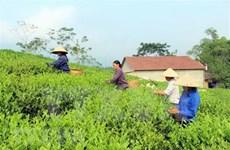 Exportación de té vietnamita alcanza 220 millones de dólares en 2020