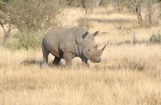 Nuevo llamado a poner fin al uso del cuerno de rinoceronte en Vietnam