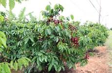 Promueve provincia vietnamita de Dak Lak exportación a través de Amazon