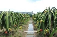 Provincia vietnamita de Long An expande el cultivo de fruta del dragón orgánica