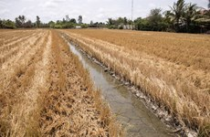 Delta del río Mekong enfrentará riesgo de intrusión salina durante el Tet