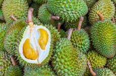 Durian de Malasia penetra en mercado japonés