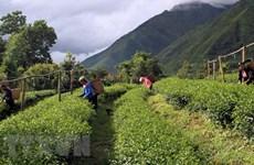 Aumenta valor de exportaciones de té vietnamita en enero