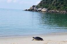 Liberan al mar a tortuga marina en Vietnam