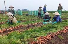 Enviarán primer lote de zanahorias de provincia vietnamita a Corea del Sur