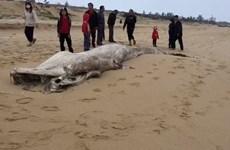 Descubren en provincia vietnamita restos de una ballena