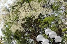 Flores Sua embellecen calles de Hanoi