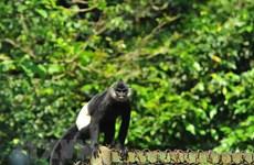 Vietnam despliega actividades para proteger al langur
