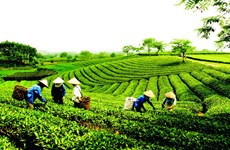 Exportaciones de té vietnamita aumentaron en primer bimestre del año