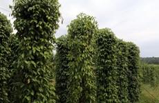 Camboya promoverá exportaciones de pimienta en 2021