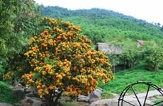 Ri Rung en plena floración embellece paisajes de Da Nang en Vietnam