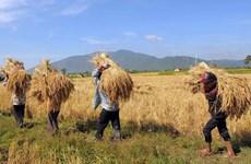 Reduce exportación de arroz de Camboya en primer trimestre de 2021
