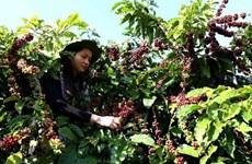 Exportaciones de café vietnamita superan 770  millones de dólares en primer trimestre