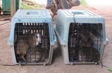 Rescatan en Vietnam a 13 ejemplares de ciervo ratón, especie en riesgo de extinción