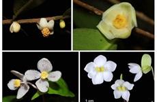 Descubren cuatro nuevas especies de plantas en el parque vietnamita de Bidoup-Nui Ba