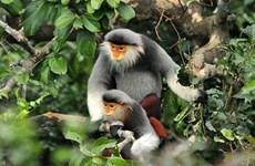 Liberan un douc, especie endémica amenaza en la naturaleza de Vietnam