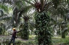 Obtendrá Malasia 72 millones de dólares por impuestos de aceite del palma