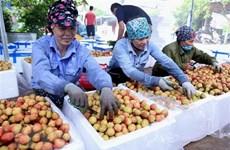 Ponen a la venta lichi Thanh Ha de Vietnam en plataforma de e-comercio