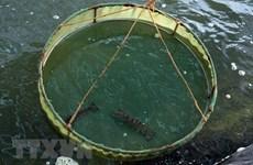 Provincia vietnamita de Ca Mau desarrolla indicación geográfica de camarón tigre negro