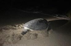 Liberan al mar tortuga rara en Vietnam