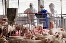 Vietnam suspenderá importación de cerdos vivos de Tailandia