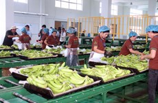 Camboya exporta más de 200 mil toneladas de bananas
