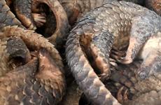 Condenan a vietnamita por tenencia de 780 kilogramos de escamas de pangolín africano