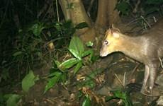 Descubren muntiacus en peligro de extinción en Vietnam