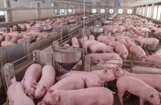 Rusia, mayor proveedor de carne de cerdo de Vietnam