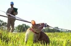 Camboya entrena nuevas ratas para labores de desminado