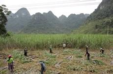 Aplica Vietnam impuesto antidumping al azúcar tailandesa