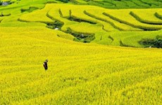 Celebrarán en Vietnam semana cultural sobre doradas terrazas de arroz