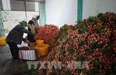 Lichis vietnamitas llegan a mercado europeo a través de plataforma de comercio electrónico