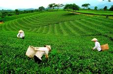Té vietnamita de Thai Nguyen busca desarrollarse en los mercados mundiales