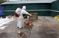 Provincia vietnamita de Thai Binh controla brote de gripe aviar A/H5N8