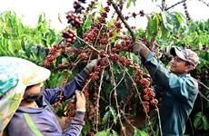 Disminuyen exportaciones vietnamitas de café al Reino Unido