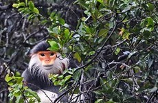 Liberan a primate en peligro de extinción a su hábitat natural en provincia vietnamita