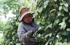 Aumentan exportaciones de pimienta vietnamita a Francia