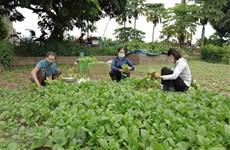 Hanoi apoya a agricultores a mantener producción en medio de impactos de COVID-19