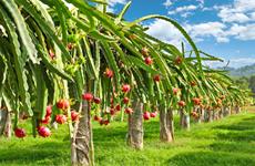 Fruta del dragón vietnamita recibe certificado japonés de protección de indicaciones geográficas