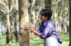 Exportaciones de caucho de Vietnam a EE.UU. mantendrán su curva ascendente